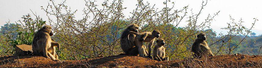 baboon-banner